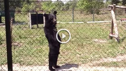 This Bear Walking Like A Human Is Crazy