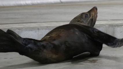 Penis Or Genius: Seals