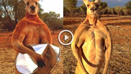 """Another Jacked Kangaroo Called """"Rodger"""" Who Crushes Tin Cans"""