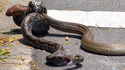 Watch A Python Fight A King Cobra In The Street