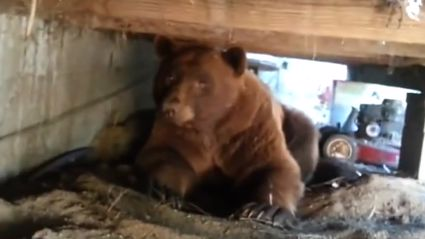 Guy Finds Big Ass Brown Bear Under His Deck