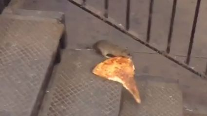 New York City Rat Carrying Pizza Home On The Subway