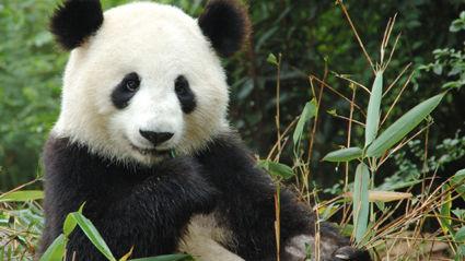 Penis Or Genius: Pandas