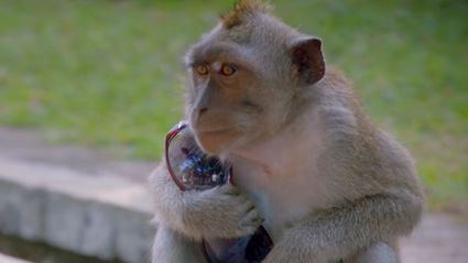 Monkeys Steal Tourist's Stuff & Hold It Ransom For Food