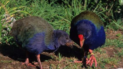 Hauraki Breakfast - Penis Or Genius: The Takahe