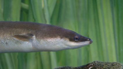 Hauraki Breakfast: Penis Or Genius - Eels