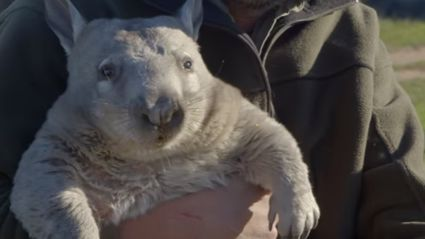 Look At This Video Of A Farting Wombat