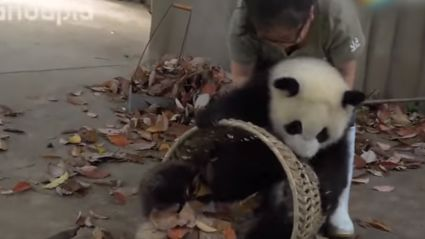 These Pandas Are Being Giant A-Holes While Staff Try To Clean Up
