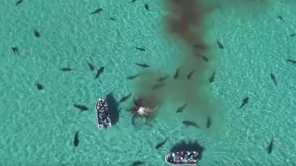 Watch These 70 Sharks Rip Apart A Humpback Whale From The Safety Of A Drone