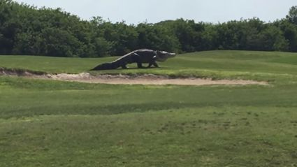 Look At This Massive F*cking Alligator Walking Across A Florida Golf Course