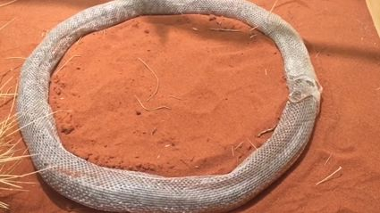 Weird Video Of A Snake That Shed It's Skin In A Perfect Circle And Is Now Trapped