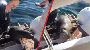 This Video Of A Seal Climbing On A Boat To Escape Killer Whales Wins The Internet