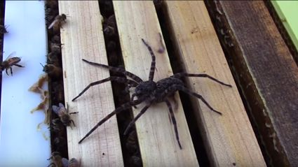 This video bees fighting a giant spider will haunt your dreams