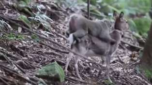 Japanese Monkeys are now trying to have sex with deer