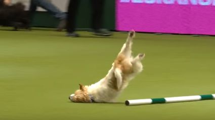 Jack Russell face plants in Dog Show but give zero f*cks