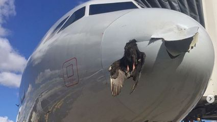 Dead bird stuck in nose of plane after head on collision