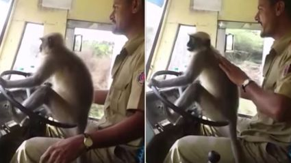 Indian Bus Driver suspended for letting monkey drive